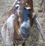 Niblit, the nubian goat