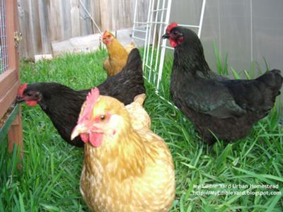 My Edible Yard Chickens