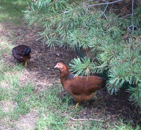 The Urban Chicken Movement Bringing Chickens Into The City